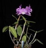 20191552 Cattleya loddigesii 'Paul' AM/AOS (82 points) 01-12-2019 William Rogerson (plant)