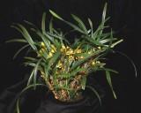 20191558 Maxillaria costaricensis 'TOF's Albanitos' CBR/AOS 01-12-2019 Steve Gonzalez (plant)