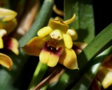 20191559 Maxillaria costaricensis 'TOF's Albanitos' CCM/AOS (80 points) 01-12-2019 Steve Gonzalez (flower)