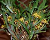 20191559 Maxillaria costaricensis 'Tof's Aibonito' CCM/AOS (80 points) 01-12-2019 Steve Gonzalez (plant)