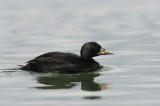 700_9775F zwarte zee-eend(Melanitta nigra, Black scoter).JPG