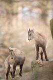 D4S_4259F alpensteenbok (Capra ibex, Alpine ibex).jpg