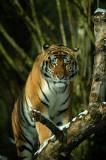D4S_3751F Siberische tijger (Panthera tigris altaica, Siberian tiger).jpg
