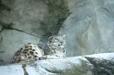 D4S_3861F sneeuwluipaard (Panthera uncia, snow leopard).jpg
