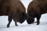 D4S_5021F wisent (Bison bonasus, European bison).jpg