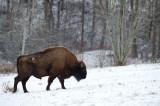 D4S_5139F wisent (Bison bonasus, European bison).jpg