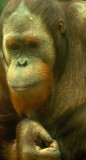 D4S_4078F Sumatraanse orang-oetan (Pongo abelii, Sumatran orangutan).jpg