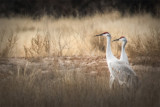 Sandhill Cranes in the Bosque