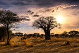 Baobab tree - Africa's Tree of Life