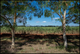 Suger cane plantation