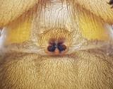 Drassodes cupreus ( Kopparhuggspindel )
