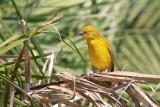 African Golden Weaver - Ploceus xanthops