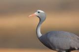 Blue crane - Anthropoides paradisea