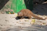 Dwarf Mongoose - Helogale parvula