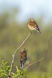 Linaria cannibana - Common Linnet - Kneu