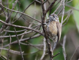 Spotted Piculet