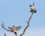 Chapada Flycatcher