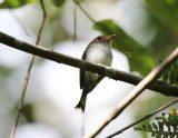 Fork-tailed Tody-Tyrant