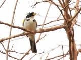 Sao Francisco Sparrow