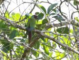 Pfrimer's Parakeet