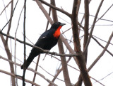 Scarlet-throated Tanager