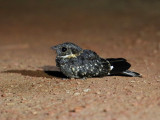 Band-winged Nightjar