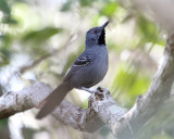 Slender Antbird