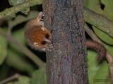 Rode muismaki - Rufous mouse lemur - Microcebus rufus
