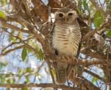 Madagaskarsteenuil - White-browed Hawk-Owl - Athene superciliaris