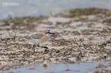 Vale Strandplevier - White-fronted Plover - Charadrius marginatus tenellus