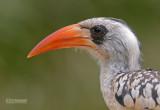 Roodsnaveltok - Western Red-billed Hornbill - Tockus Kempi