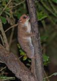 Undescribed Species Dwarf Lemur - Cheirogaleus Crossleyi Nova
