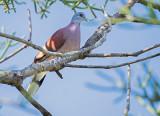 Madagaskartortel - Madagascar Turtle-Dove - Streptopelia picturata picturata