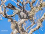 Madagaskarsperwer - Madagascar Sparrowhawk - Accipiter madagascariensis