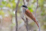 Rosse Vanga - Rufous Vanga - Schetba rufa occidentalis