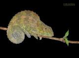 Blue-legged chameleon - Calumma crypticum