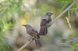 Ground Babblers and Allies