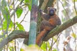 Gouden Bamboemaki - Golden Bamboo Lemur - Hapalemur aureus