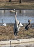 The celebrity heron