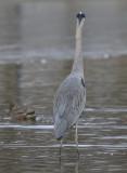The punk heron