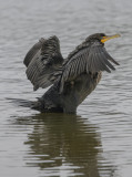 Chilly cormorant