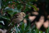 Chaffinch ♀