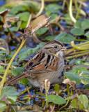 5F1A7917_Swamp_Sparrow_.jpg