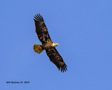 5F1A7965_Bald_Eagle_.jpg