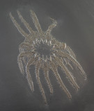 Helianthaster rhenanus, 12 cm across, showing 14 arms, from the Devonian of Bundenbach