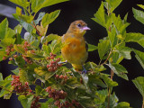 Oriole du Nord /  Northern Oriole