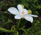 Vanilla_phalaenopsis._Close.jpg