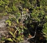 Syzygium_whrightii.jpg