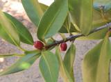 Paragenipa_lancifolia_fruits.jpg