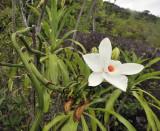 Vanilla_phalaenopsis._Closer.4.jpg